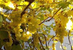unsere Weintrauben