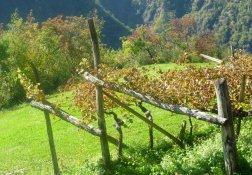 Die leeren Weinstöcke im Herbst auf dem Höfeweg