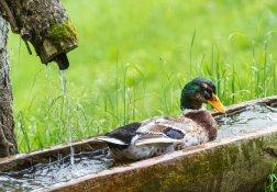 Erfrischung für die Enten