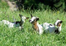 Ziegen im hohen Gras